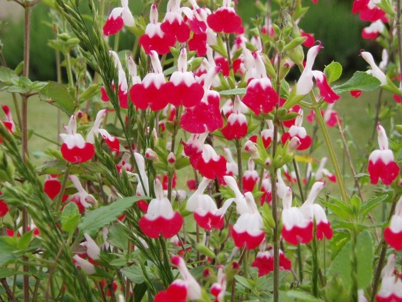Salvia microphilla Hot Lips