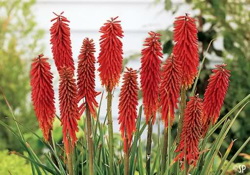 kniphofia nancys red