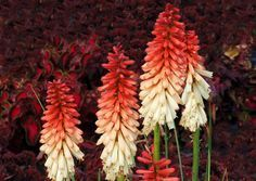 kniphofia orange vanilla popsicle.